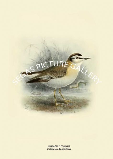 Fine art print of the CHARADRIUS TENELLUS - Madagascar Ringed Plover by Henry Seebohm (1887)